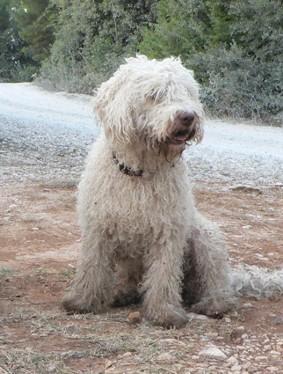 Fuego del Norte - Perro de Agua Espanol